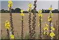 TM1650 : Flowers of multi-stemmed mullein plant, Verbascum thapsus by Andrew Hill