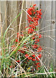 TM1551 : Little shrub with lots of berries by Andrew Hill