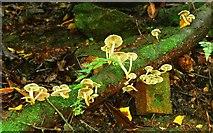 J4681 : Fungus, Crawfordsburn Glen (19) by Albert Bridge