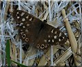 SO9044 : Speckled Wood butterfly, Besford by Philip Halling