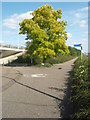 TL2099 : Acacia Tree On Cycle Route by Michael Trolove
