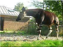 TQ2883 : Okapi at London Zoo by Robin Sones