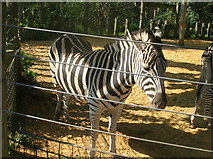 TQ2883 : Zebra at London Zoo by Robin Sones