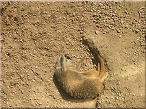 TQ2883 : Scratching Meerkat at London Zoo by Robin Sones