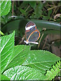 TQ2883 : Transparent Butterfly at London Zoo by Robin Sones