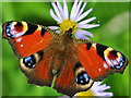 NN7923 : Peacock Butterfly (Inachis io) by Dr Richard Murray