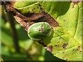 NS3977 : A Tortoise Beetle (Cassida rubiginosa) by Lairich Rig
