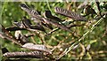 NJ6646 : Broom (Cytisus scoparius) Pods by Anne Burgess